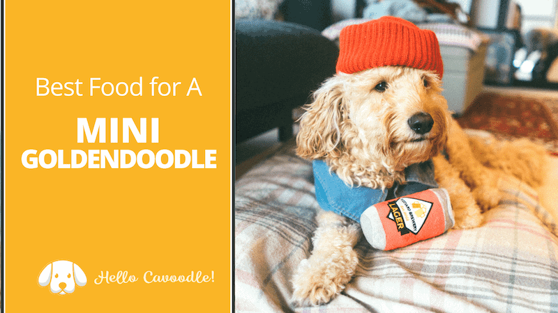 goldendoodle best food