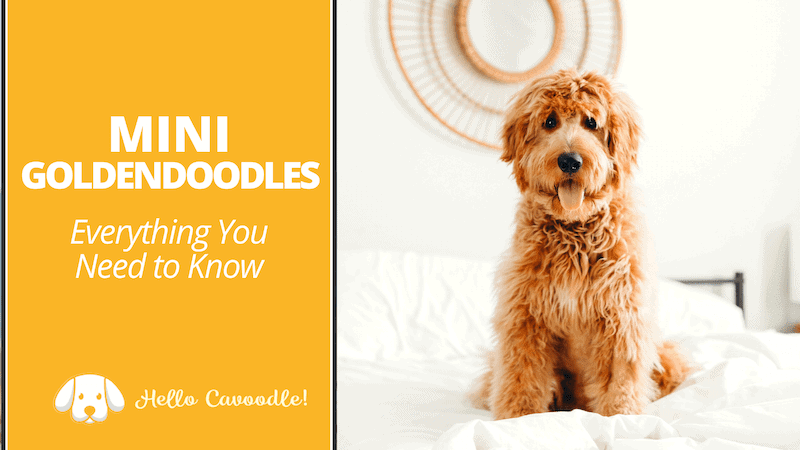 goldendoodle breed facts