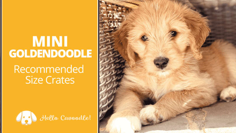 goldendoodle crate size