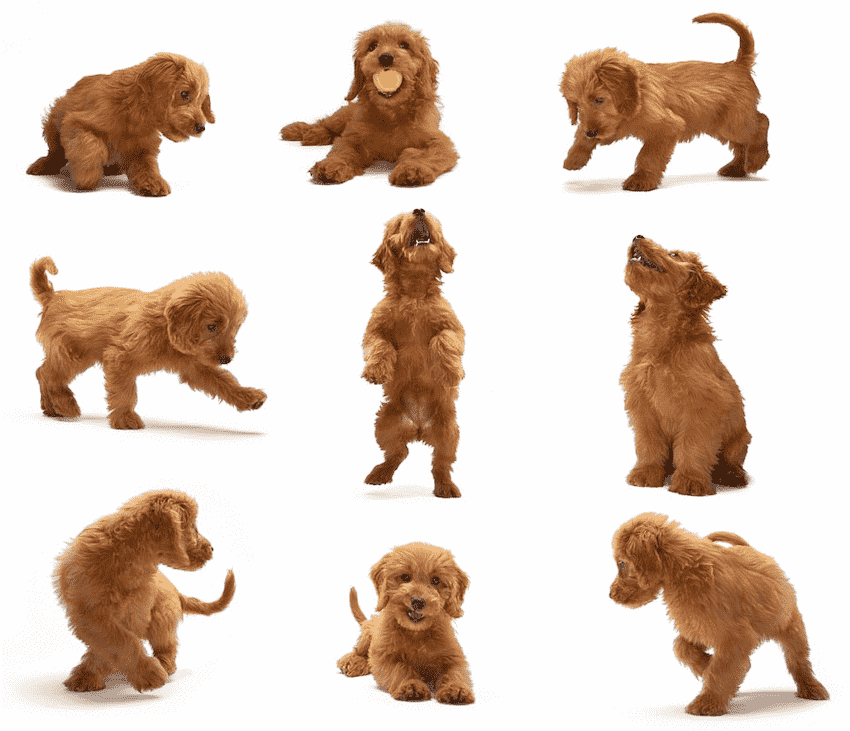Goldendoodle Exercises