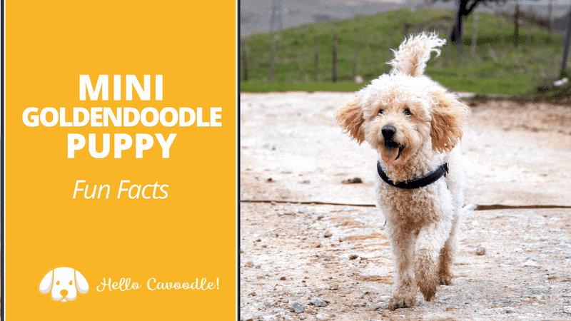 goldendoodle fun facts