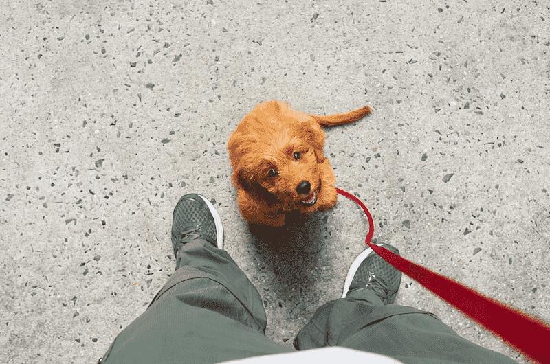 Goldendoodle on a Leash