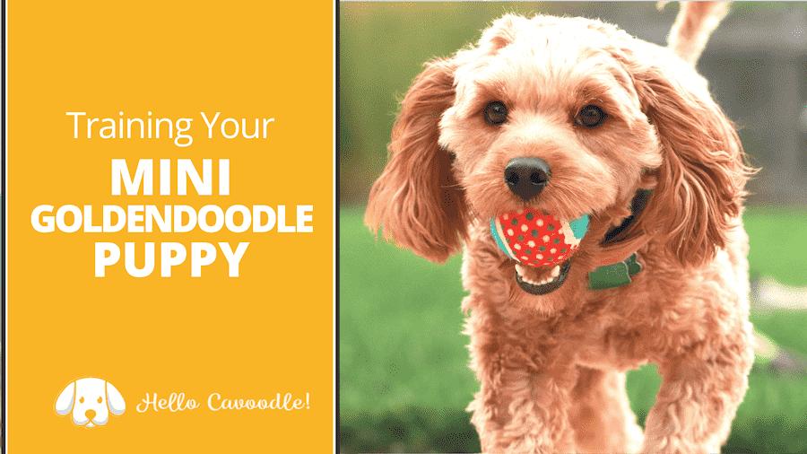 goldendoodle puppy training