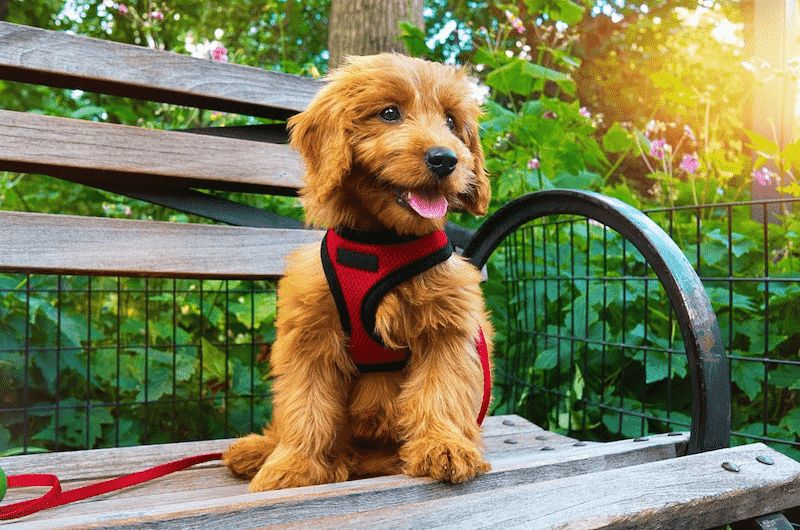 Goldendoodle Sitting on a Bench