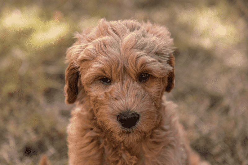 Goldendoodle Staring Blankly