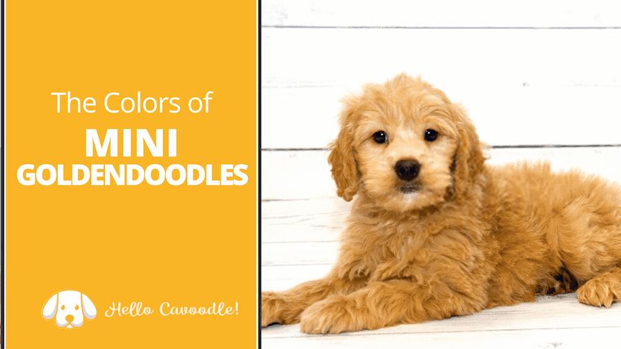 mini goldendoodle colors