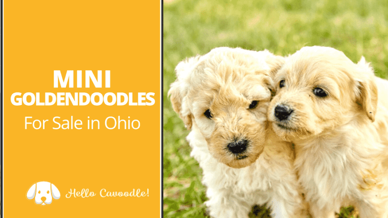 mini goldendoodle ohio