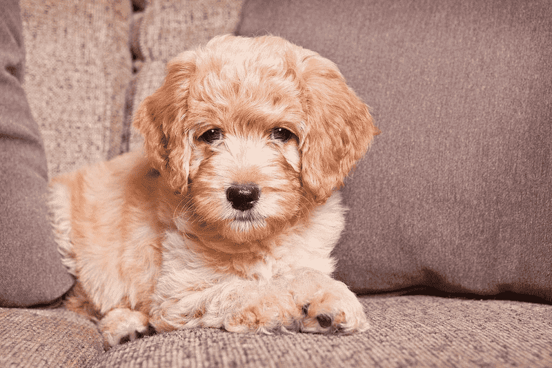 Mini Goldendoodle on a Couch