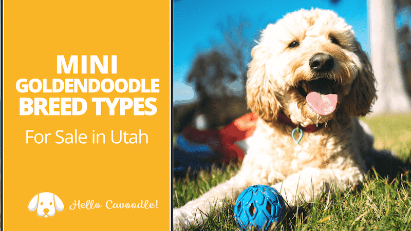 mini goldendoodle utah