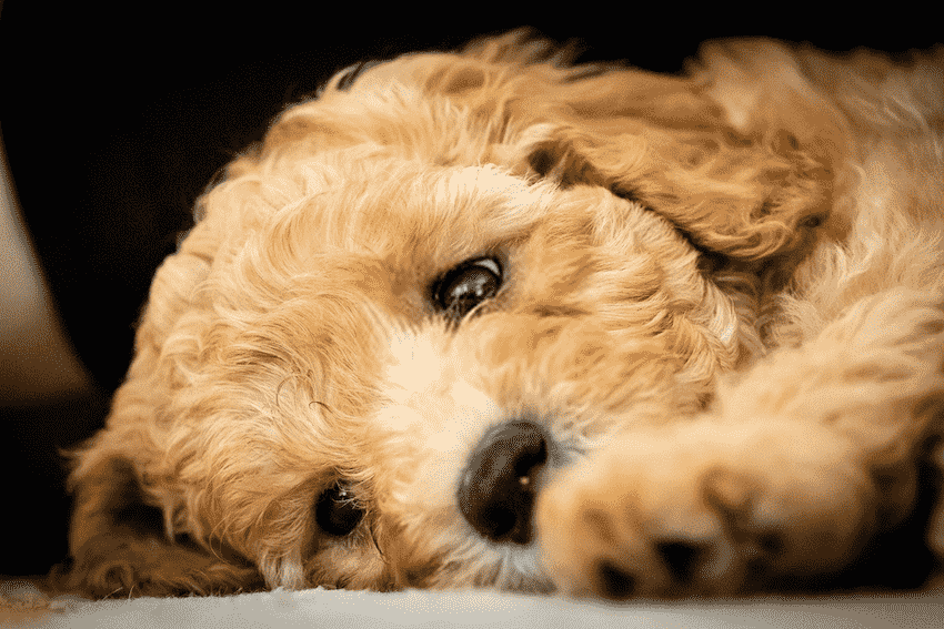A Sad Goldendoodle