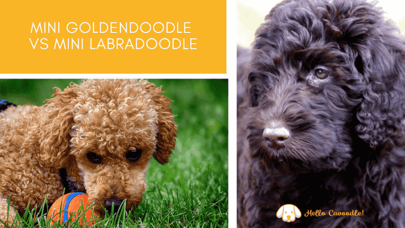 mini goldendoodle vs mini Labradoodle
