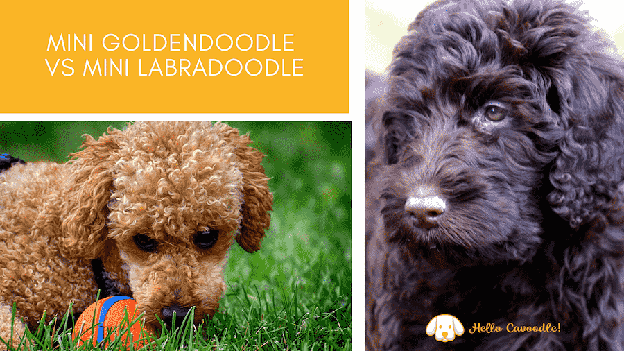 mini goldendoodle vs mini Labradoodle